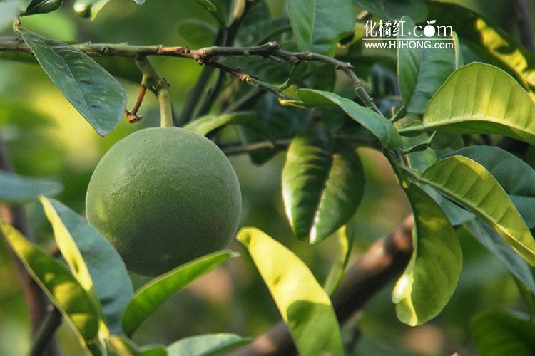 化州市四举措积极推动化橘红产业发展