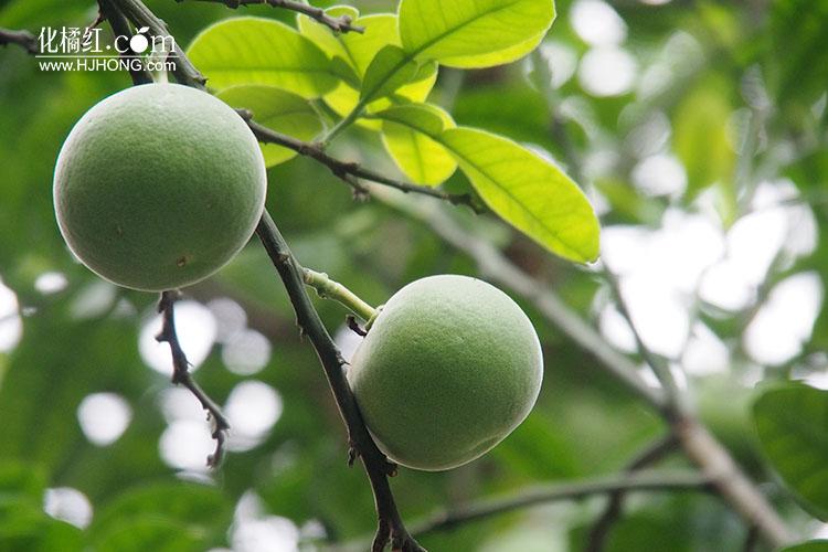 化州引领群众做大做强化橘红产业
